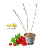 Élő ribizli növény